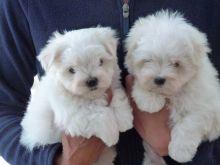 Stunning Maltese Babies