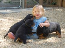 two purebred Rottweiler puppies have very unique marking,Txt only via (786) x 322 x 6546