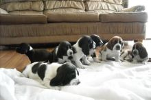 We have six Basset Hound puppies for sale,Txt only via (302) x 514 x 8078