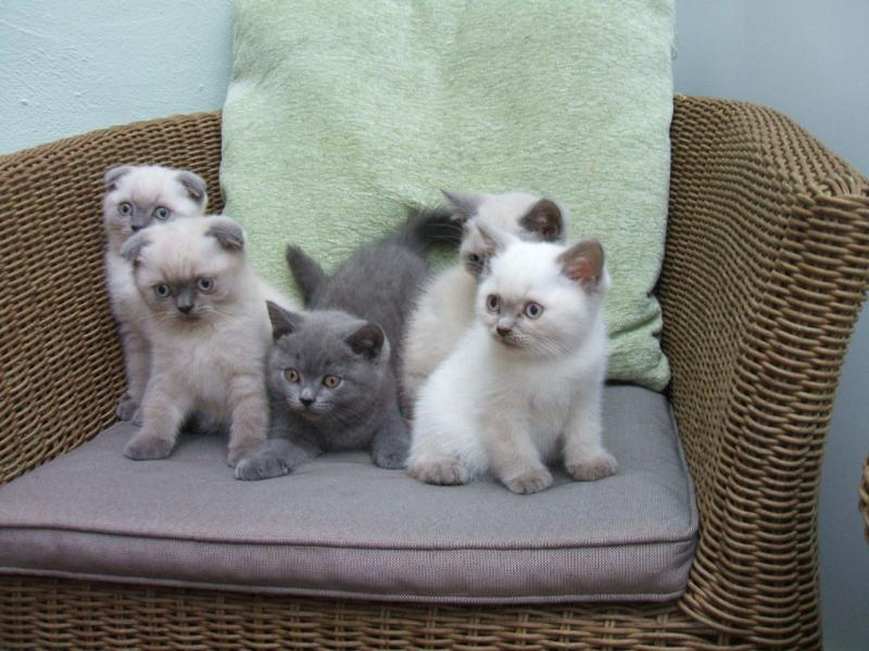 NEW!!!! Elite Scottish fold kitten from Europe with excellent pedigree A 4.19H ,Txt only via (901) Image eClassifieds4u