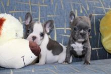 Adorable French bulldog puppies. Registered.