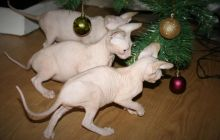 Beautiful Sphynx kittens for rehoming