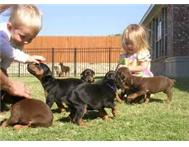 Doberman Pinscher Puppies Male and female Doberman Pinscher puppies available.