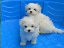 Gorgeous white Maltese Puppies.They will make great family