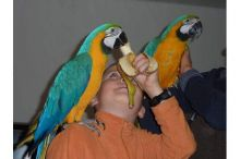 Great Blue and gold macaw Parrots With Cage