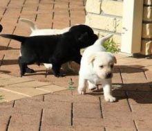 Labrador Retrievers Puppies - Nice pups