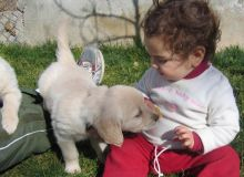 Magnificent Golden Retriever puppies. Grew up in the home