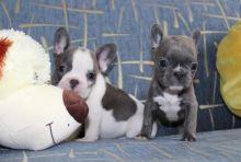 Nice French Bulldog Puppies - 300.00 US$