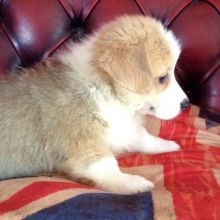 Adorable Pembroke Welsh Corgi Puppies Now Ready For Adoption