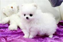 Cute Pomeranian Puppies for adoption contact::::(annamelvis225@gmail.com)