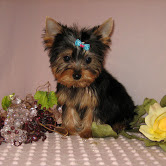 Cute Yorkie puppies for adoption contact::::(annamelvis225@gmail.com)