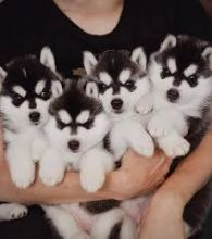 beautiful and healthy cyberian huskies for Adoption