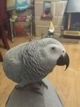AFRICAN GREY TALKING PARROTS FOR SALE