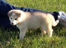 Alaskan Malamute Puppies for adoption