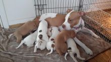 Amazing red nose APBT puppies born June 6, various colors