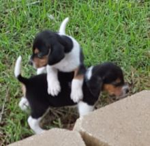 Beautiful little tri colored Beagle puppies coming available.