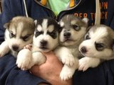 Cute and Adorable Siberian husky puppies now ready