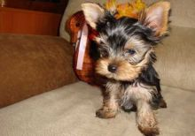 Cute and Charming yorkshire terrier puppies For Adoption