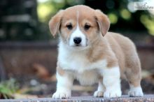 Cute Pembroke Welsh Corgi Puppies for adoption contact::::(annamelvis225@gmail.com)