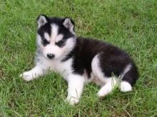 Cute Siberian husky Puppies for adoption contact::::(annamelvis225@gmail.com)