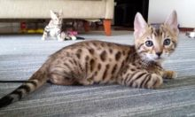 Adorable TICA Bengal/Ragdol Kittens for Adoption - 11 Weeks Old