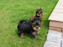 male and female yorkie are very loving and sweet