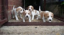 Top Quality C.K.C Beagle Puppies Now Ready For Adoption