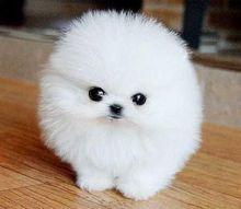 Sweet Teacup Pomeranian Puppies for adoption-909-296-7704