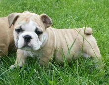 12 Weeks old English Bulldog Puppy -