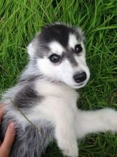 AKC Male and Female Siberian Husky Puppies
