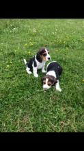 Cute Beagle Pups