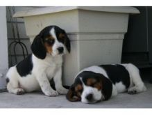 cute male and female beagle puppies for free adoption
