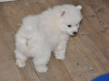 nhrthrh Male and Female Goldendoodle puppies Now