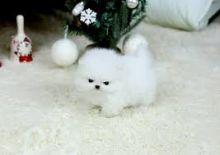 Social/unique gorgeous white teacup Pomeranian Puppies available