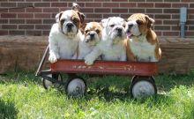 Akc reg English Bulldog puppies Image eClassifieds4u 2