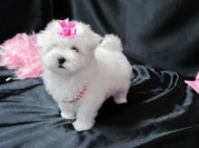 Beautiful Maltese Puppies for Sale vio