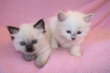 Cute and Healthy Ragdoll kittens Available(406)962 7575