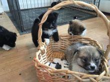 Stunning black pomsky puppys available blue eyes.