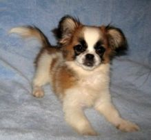 Super Special Papillon puppies for you this season of love