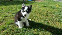 Stunning black pomsky puppys available blue eyes. Image eClassifieds4u 2