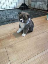 Stunning black pomsky puppys available blue eyes. Image eClassifieds4u 3