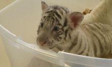 Tiger cubs for sale