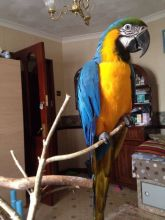 Macaw, African Grey and atoo parrots for sale