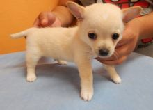 Available Male and Female Chihuahua puppies Ready