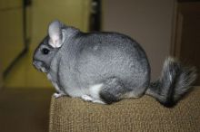 Lovely friendly chinchillas male and female with big cage and accessories