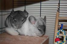 two female chinchillas with cage and accesories