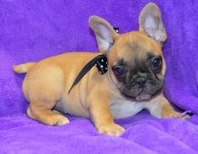 Very Special Little French Bulldog Puppies Now Ready