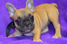 Well Socialize Male and Female French bulldog puppies