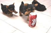 2 adorable yorkie puppies looking for a good home!