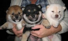 Amazing Shiba Inus for New Homes. with great color white black tan and fawn pups ready